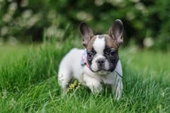 French bulldog from fron view in nature. Photo with bookeh Stock Image