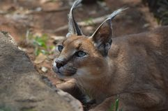 A cute and small Caracal also know as Golden cat in Africa stock images