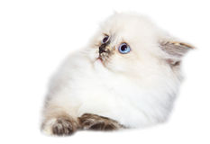 Cute small cat Royalty Free Stock Images