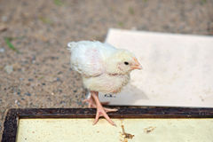 Cute small chick Stock Image