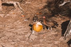 Cute small chickens eating on a coconut. On the beach on the island of Kauai, Hawaii Royalty Free Stock Image