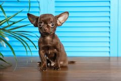 Free Cute Small Chihuahua Dog On Wooden Floor Against Light Blue Background Royalty Free Stock Photo - 157883355