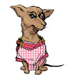 Cute small chihuahua dog wearing checkered pink overalls and col Stock Photos
