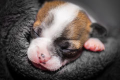 Cute small chihuahua puppy sleeping Royalty Free Stock Image