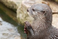 Praying Otter Royalty Free Stock Photography