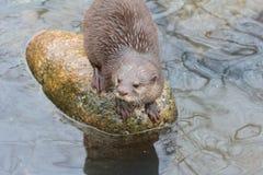 Otter on the Rocks Stock Photo