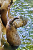 Cute Small-clawed Otter. Stock Images