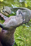 Cute Small-clawed Otter. Royalty Free Stock Images
