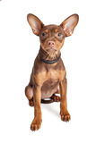 Cute Small Crossbreed Dog Sitting and Looking Royalty Free Stock Photos