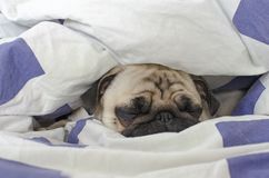 Cute small dog breed pug pug asleep in bad royalty free stock images