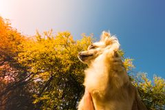 Cute small dog chihuahua sitting in hand and looking around. View from bottom to the top. Sun in the view Stock Photos
