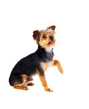 Cute small dog with cutted hair raising the leg. Isolated on a white background Royalty Free Stock Images