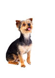 Cute small dog with cutted hair raising the leg. Isolated on a white background Stock Photography