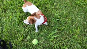 Cute small dog in red Kerchief waiting for the ball game. Looking inviting and wagging the tail. Green grass outdoor stock video
