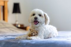 Small maltese cross female dog lying on a bed with a cute small teddy bear stock images