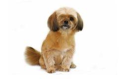 Cute Small Dog Stock Image