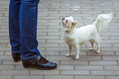 Cute small dog. Looking up royalty free stock image