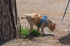 Cute small dog peeing on a tree in an park