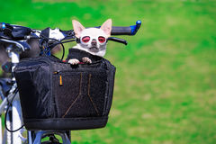Cute small dog in pet busket Stock Images