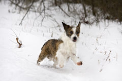 Cute small dog playing in snow Royalty Free Stock Photo