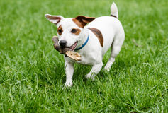 Cute small dog playing with wood stick at lawn Royalty Free Stock Photo