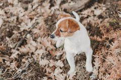 Cute small dog portrait. Sitting on brown leaves background. Autumn concept. pets Outdoors. Leaf nose breed animal fall looking russell nature clothing grey royalty free stock images