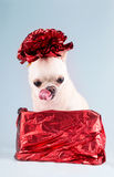Cute small dog in present box Royalty Free Stock Images