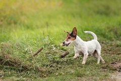 Small dog runs and flies over a green meadow in spring. Jack Russell Terrier Hound 10 years old royalty free stock photo