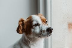 Cute small dog sitting by the window. Rainy day, water drops on the window glass. Dog looking bored or sad. Pets at home indoors.  stock photography