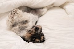 Cute small dog sleeping in bed with white bedding - jack russell royalty free stock photos
