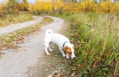 Cute small dog smelling grass outdoors in autumn royalty free stock images