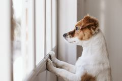 Free Cute Small Dog Standing On Two Legs And Looking Away By The Window Searching Or Waiting For His Owner. Pets Indoors Stock Image - 147389581