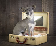 Cute small dog in suitcase Stock Photo