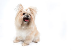 Cute small dog on white background Royalty Free Stock Photo