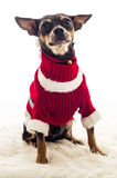 Cute small dog in Xmas costume Royalty Free Stock Photography