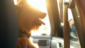 Cute small dog Yorkshire Terrier enjoying a drive on bright, sunny day. Handheld shot. Cute small dog Yorkshire Terrier enjoying a drive on bright, sunny day stock video footage