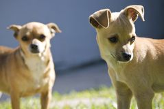 Cute small dogs. Dogs playing in the sun enjoying each others company Royalty Free Stock Image