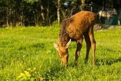 Cute small elk portrait in wildlife stock photos