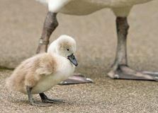 A small cygnet baby swan standing with mums legs in the background. A cute small fluffy Cygnet baby swan standing on the gravel ground with adult Swan in the royalty free stock images