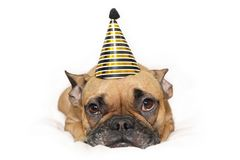 Cute small French Bulldog dog with gold and black new year party hat on head lying on white background royalty free stock image