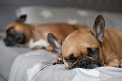Cute small French Bulldog sleeping on bed with another dog in background