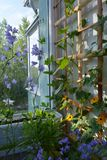 Cute small garden on the balcony. Violet flowers of different bellflowers and orange flowers of thunbergia on wooden trellis.  stock image