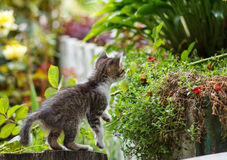 Cute small gray kitten with beautiful striped color walking and playing in the garden Royalty Free Stock Photos