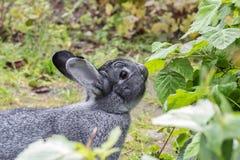 Gray chinchilla rabbit stock photos