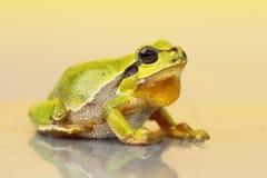 Cute small green frog. Hyla arborea Royalty Free Stock Photo