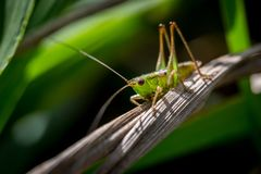 Hawaiian Grasshopper Close-up Macro Shot stock images