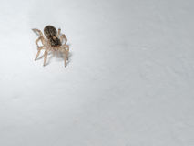 Really cute small jumping spider Royalty Free Stock Photo