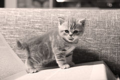 Cute small kitten Royalty Free Stock Images