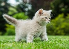 Cute small kitten isolated on grass background Royalty Free Stock Photo