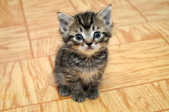 A cute small kitten looking Royalty Free Stock Images